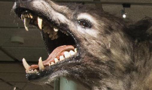 Een close up van de kop van een wolf die zijn bek open heeft. Hierin zijn zijn scherpe tanden en grote tong goed zichtbaar.